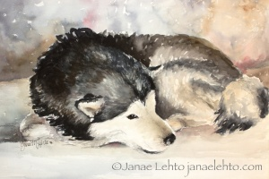 A Rare Site: Malamute at Rest